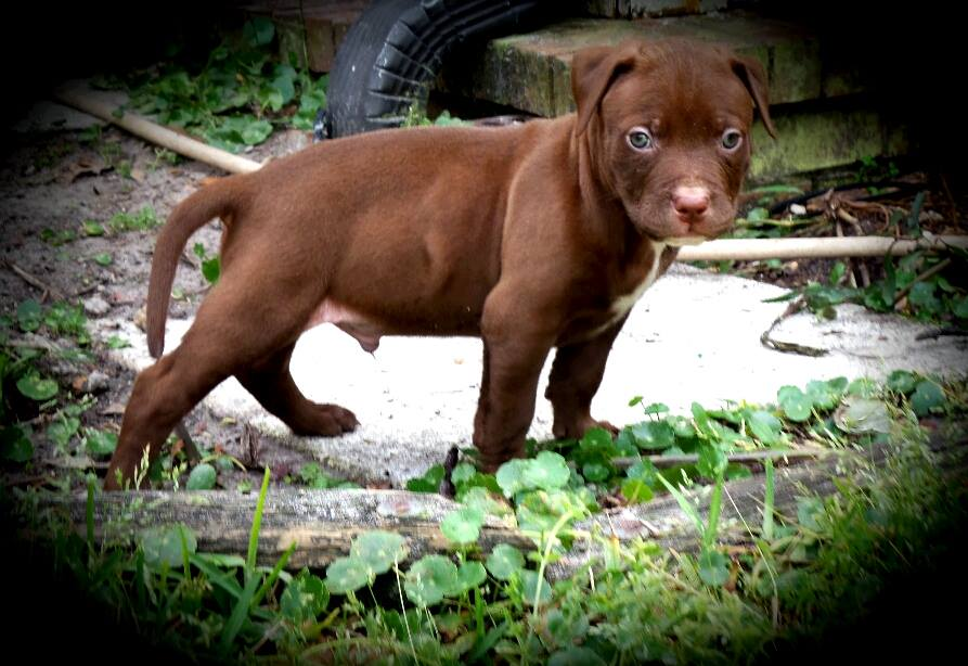 chocolate red nose pit bull puppies and breedings