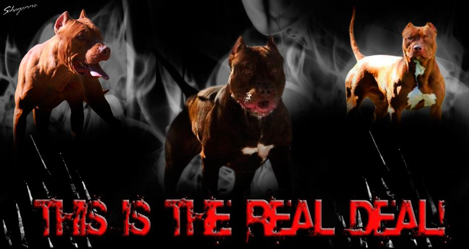 Chocolate Red Nose Working American Pit Bull Terriers