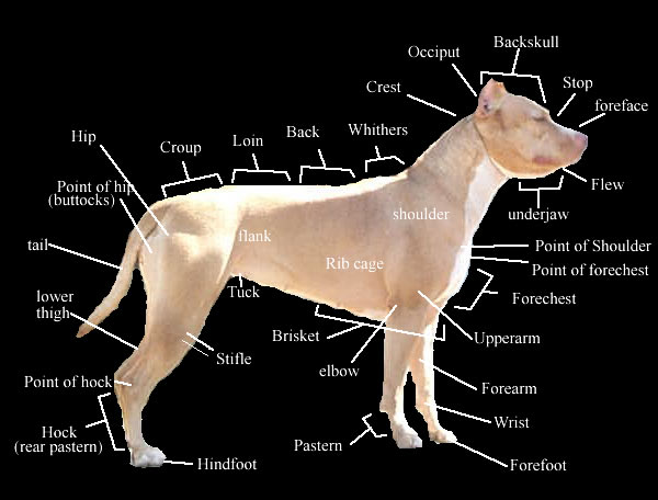 American Pit Bull Terrier Shows And Activities