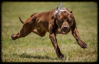 Chocolate red nose working american pit bull terrier females
