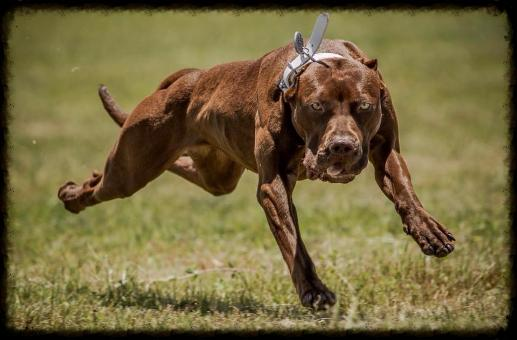 Jazzy-Real Deal Chocolates Working American Pit Bull Terriers