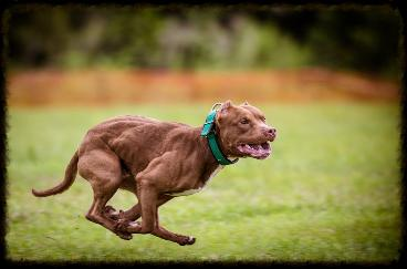 Chocolate Red Nose American Pit Bull Terrier Working Males